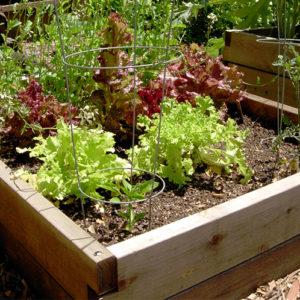 Raised Bed Lettuce